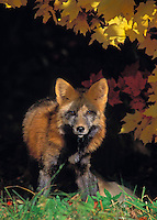 Red Fox in autumn maples..Cross colour phase. Minnesota..(Vulpes vulpes).
