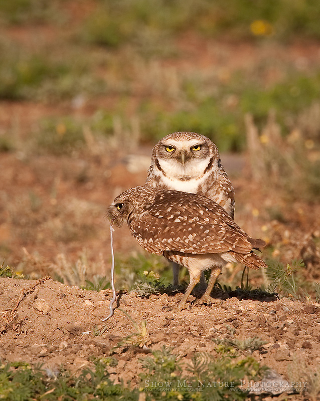 """""""Lunch with the Burrowing Owls"""", Oklahoma"""