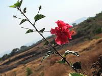 Pretty red Hibiscus branch overlooking rural, village landscape