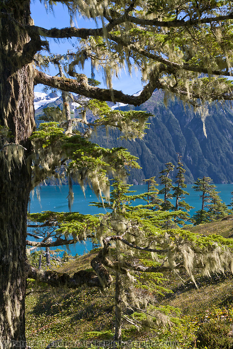 Old growth Western Hemlock trees, Chugach mountains, Barry Arm, Chugach National Forest, Prince William Sound, Alaska.
