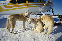 Dropped Dogs Wait to be Loaded Into Jim Kintz's Plane