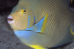 Blue Angel fish, Holacanthus bermudensis, Blue Heron Bridge, aka Bermuda blue angelfish