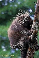 MA05-009z  Porcupine - Erethizon dorsatum