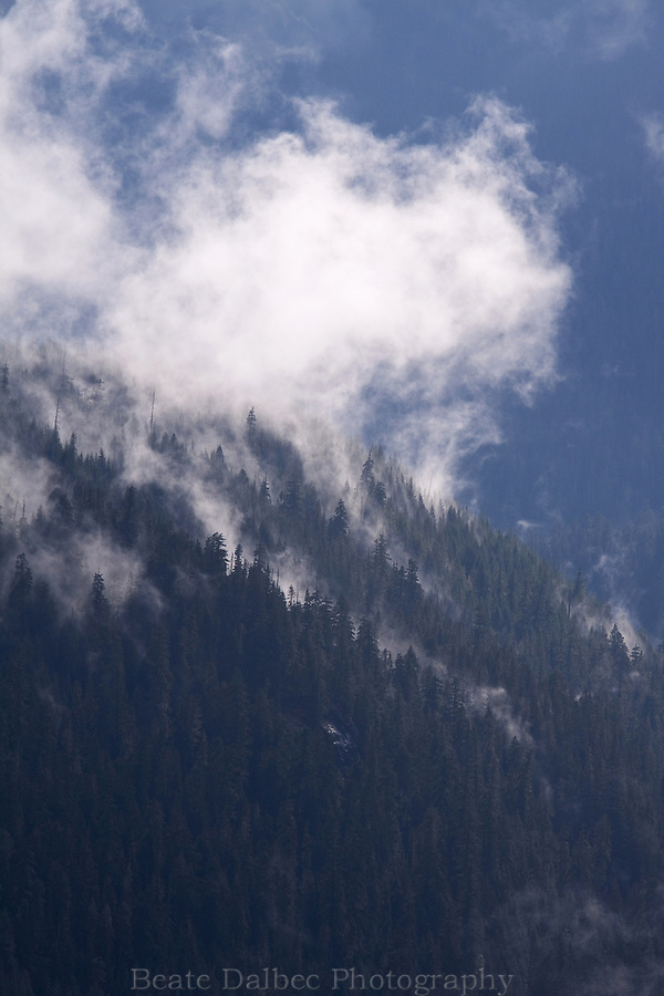 Fog rising out of the trees in the forest of Mt. Rainier National Park