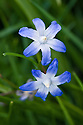 Blue-flowered glory-of-the-snow (Chionodoxa) planted in grass, mid April.