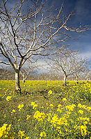 "A fine art landscape image of walnut trees in early spring, still without leaves, standing in an ocean of bright yellow mustard, branches reaching up towards a blue sky.  This iconic image of walnut orchards is becoming rare. This image pairs well with ""Spring Mustard and Dancing Trees"" and ""Spring Walnut Orchard and Mustard."""