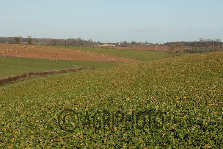 17/12/2020 Stubble turnips in Rutland<br /> ©Tim Scrivener Photographer 07850 303986<br />      ....Covering Agriculture In The UK....