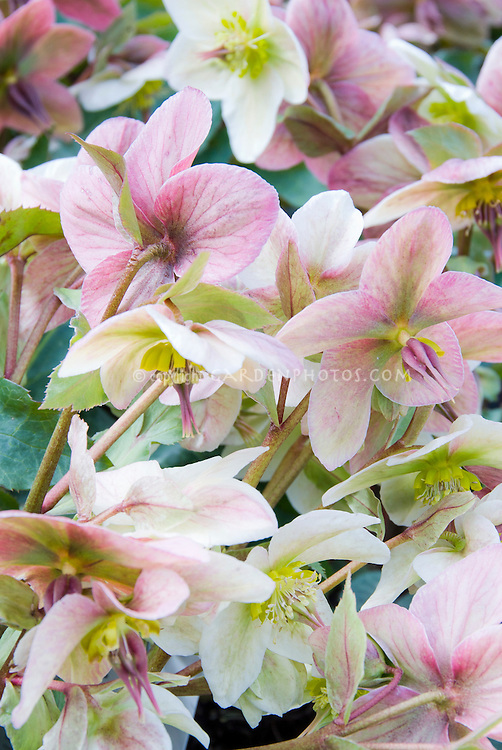 Hellebore x ericsmithii Angel Glow in ponk winter spring bloom