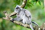 Female Silvered Langur or Silver Leaf Monkey (Presbytis cristata) carrying young infant. Bako National Park, Sarawak, Borneo.