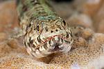 Variegated Lizardfish (Synodus variegatus)