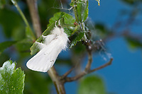 Goldafter, Dunkler Goldafter, Euproctis chrysorrhoea, brown-tail, browntail moth, le Cul brun, Lymantriinae, Trägspinner, Schadspinner