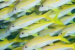 Fakfak Regency, West Papua, Indonesia; a detail view of a polarized school of Yellowfin Goatfish (Mulliodichthys vanicolensis)