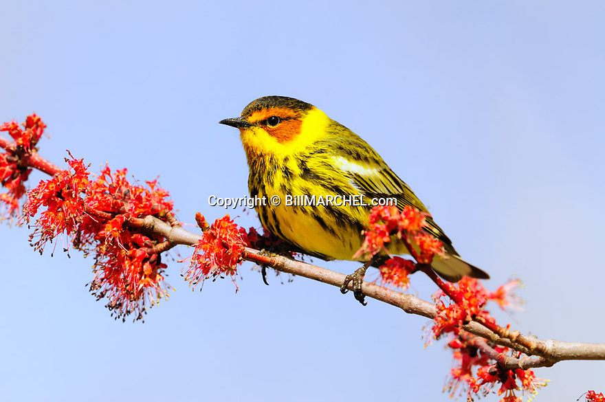 01256-003.06 Cape May Warbler male is hawking for insects as it is perched in maple tree in bloom. Bugs, cold, migrate.