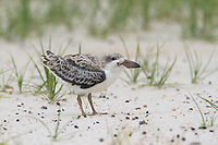 Fledgling Black Skimmer (Rynchops niger). Harrison County, Mississippi. July.