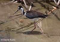 0905-0904  Black-necked Stilt Wading in Marsh Hunting for Prey, Himantopus mexicanus (formerly Ephippiorhynchus asiaticus) © David Kuhn/Dwight Kuhn Photography