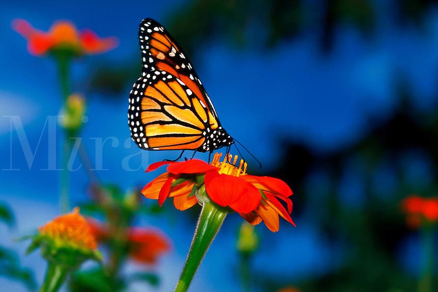 Monarch butterfly (danaus plexippus) on a Mexican sunflower (tihonia rotundifolia)
