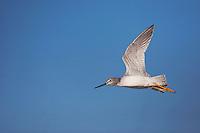Greater Yellowlegs (Tringa melanoleuca), adult in flight, Sinton, Corpus Christi, Coastal Bend, Texas, USA