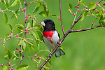 Male rose-breasted grosbeak in northern Wisconsin.