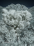 Juniper Tree and Cochise Head Peak, Arizona (Infrared)