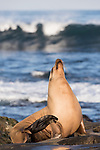 La Jolla, California; a female California sea lion with a light tan, furry, dry coat, resting on the rocky shoreline along the Pacific Ocean, in early morning sunlight