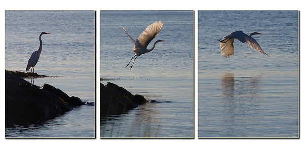 Heron taking flight. .  John leads private, wildlife photo tours throughout Colorado. Year-round.
