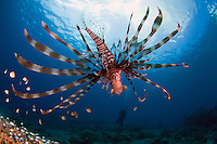 lionfish, diver, Komodo national park, Indonesia