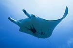 Rangiroa Atoll, Tuamotu Archipelago, French Polynesia; a manta ray swimming overhead in a swift current