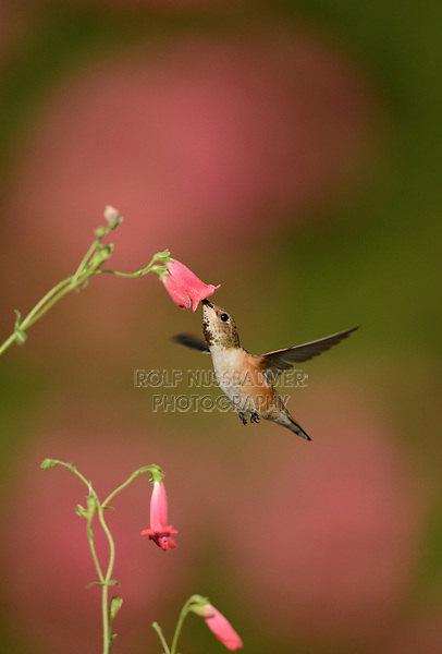 Rufous Hummingbird (Selasphorus rufus), young male feeding on Rock Penstemon (Penstemon baccharifolius), Hill Country, Central Texas, USA