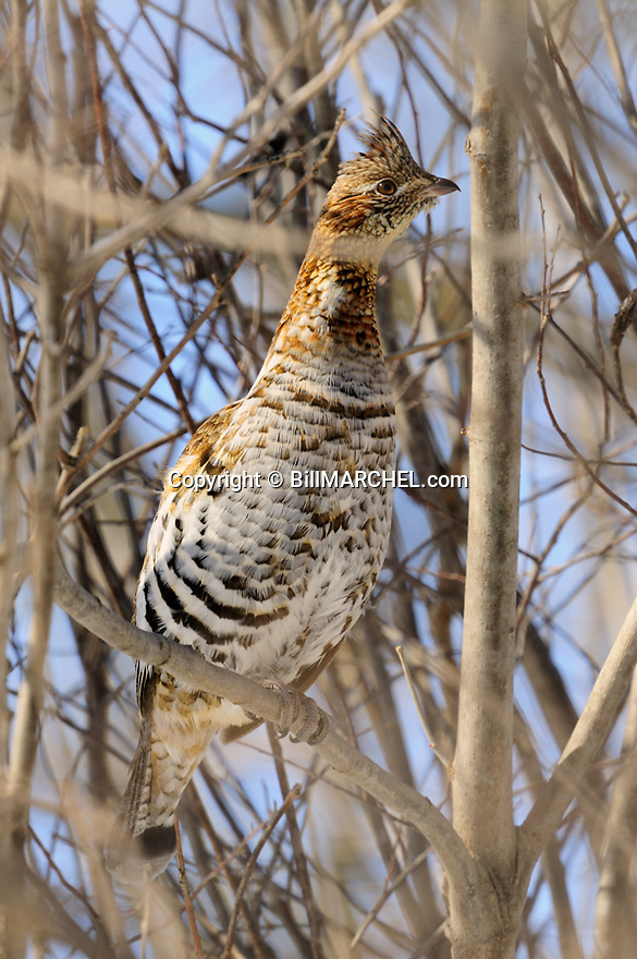 00515-073.03 Ruffed Grouse is perched in tree in stretched out position.  Grouse call it the bowling pin position.