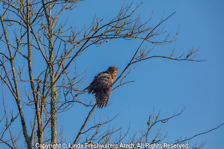 Great horned owl in northern Wisconsin.