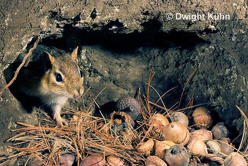 MA02-034z  Eastern Chipmunk - in den with acorns - Tamias striatus