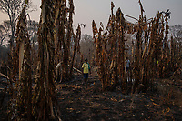 Indigeneous Indian, Guilherme Pedroso da Silva, walks through his banana plantation that was totally destroyed by wildfires that hit Baia dos Guato (Indigenous Area), in the Pantanal of Mato-Grosso. 83% of the reserve's 19,287 hectares total area was burned.<br />