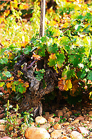 An old Counoise vine in the stony pebbly galet soil. Chateau de Beaucastel, Domaines Perrin, Courthézon Courthezon Vaucluse France Europe