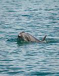 Bottlenose Dolphins swim near our skiffs