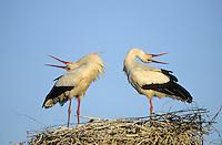 Weiss-Storch, Weissstorch, Weiß-Storch, Weißstorch, Storch, klappernd, Klapperstorch, Paar, Pärchen, Altvögel begrüßen sich auf Nest, Horst, Ciconia ciconia, white stork