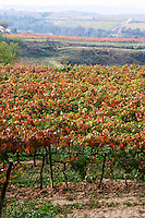 Tempranillo vines in the vineyard. Albet i Noya. Penedes Catalonia Spain