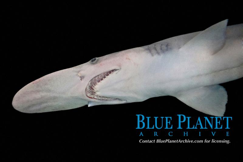 goblin shark, Mitsukurina owstoni, live specimen, captured from deep sea, Tokyo Bay, Japan, Pacific Ocean