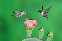 Ruby-throated Hummingbird, Archilochus colubris, male and female in flight feeding on Texas Prickly Pear Cactus (Opuntia lindheimeri), Uvalde County, Hill Country, Texas, USA