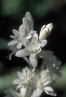 Double tuberose flower Polianthes tuberosa 'The Pearl' fragrant bloom