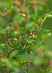 Juneberries in northern Wisconsin.