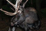 Bull moose 3/4 shot facing left.