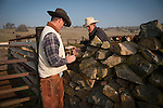 Calf marking at the Wooster Ranch, Red Barn, Calaveras County, Calif...Justin Brooks and Steve Wooster restack the rock wall where a cow jumped over and knocked off the top.