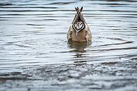 Pintail Duck, Anchorage Alaska.