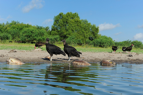 Black Vulture (Coragyps atratus), adults eating dead fish, Dinero, Lake Corpus Christi, South Texas, USA