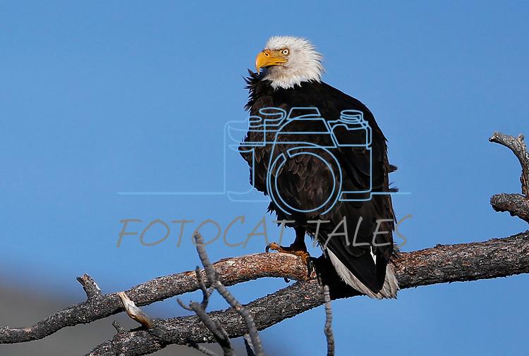 Bald eagle family update near Markleeville, Ca., on Thursday, June 18, 2020. <br />Photo by Cathleen Allison