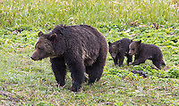 """The grizzly sow known as """"Blaze"""" had two new cubs in the spring of 2015."""