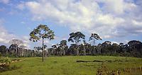 Porto Maldonado<br /> A Bertholletia excelsa, popularmente conhecida como castanha-do-pará, castanha-do-acre, castanha-do-brasil, tocari e tururi é uma árvore de grande porte, muito abundante no norte do Brasil e na Bolívia, cujo fruto (ouriço) contém a castanha, que é sua semente1 É uma árvore da família botânica Lecythidaceae, nativa da Floresta Amazônica.<br /> Foto Eric Stoner