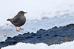 American dipper (Cinclus mexicanus) foraging on the edge of the frozen Upper Yellowstone River. Yellowstone National Park, Wyoming, USA. January.