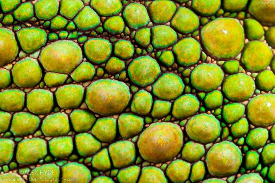 Panther Chameleon {Furcifer pardalis} close-up of skin. Masoala Peninsula National Park, north east Madagascar.