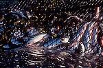 Wild Sockeye salmon in a purse seine net, Environmental Issue, Fisheries, Overfishing, Oncorhynchus nerka,.